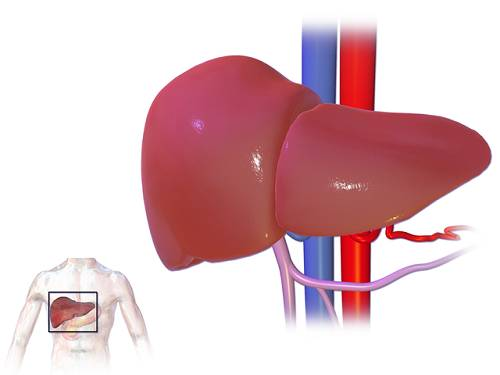Metformin and the Liver