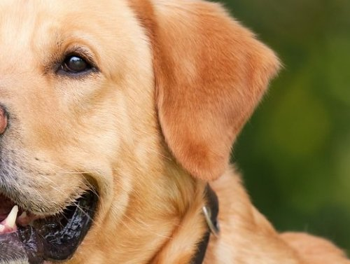 Diabetes in Dogs: Symptoms, Causes, Diagnosis, and Treatment
